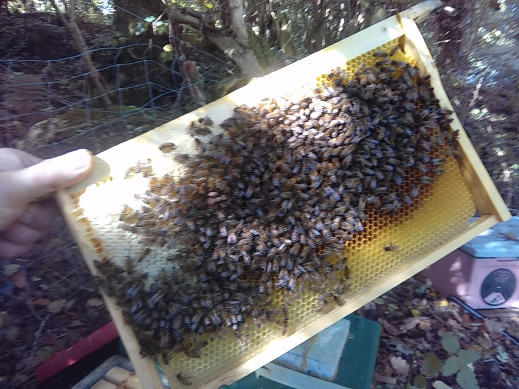A frame of honeybees