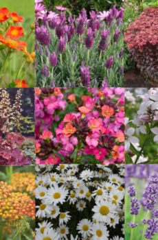 Bee/Pollinator/Wildlife Friendly Perennial Flower Collection (C3)